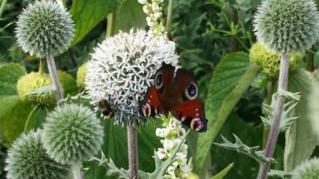 A Peacock butterfly and a bee alight on an echinops in the ghost border. Photo: Marion Welham