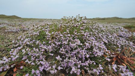 Matted sea lavender with its delicate purple blooms. Photo: Serena Shores