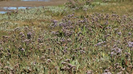 Sea lavender in the marshes at Blakeney. Photo: Serena Shores