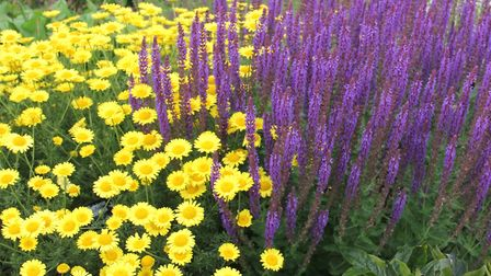 Salvia and anthemis in June