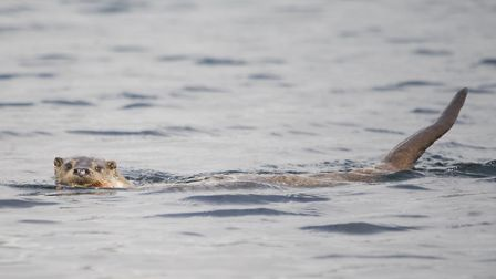 Otters are becoming more common in the Ribble and have been seen at the Brockholes Reserve (c) Amy L