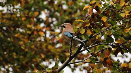A jay in autumn leaves. Photo: Andrew Hankinson