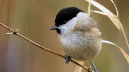 Willow Tit by David Gilby
