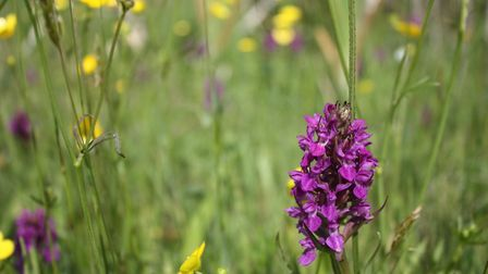 Orchids brighten Haskayne Cutting in the summer (Picture: Alan Wright)