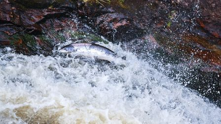 The Ribble Rivers Trust is helping salmon and trout reach Accrington and Burnley (C) Wild & Free/Get