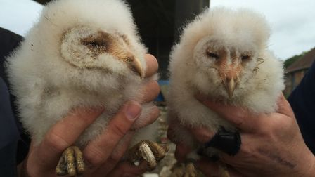 Barn owl chicks are commonly ringed on farms across Dorset Photo: Paul Morton