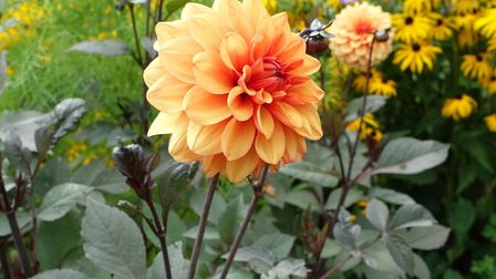Dahlia 'David Howard' will bloom until the first frost. Image: Marion Welham
