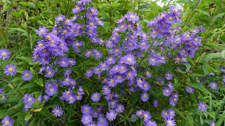 Aster ericoides 'Blue Wonder' is at its best in September and October. Image: Marion Welham