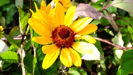 Heliopsis heliathoides var. scarber 'Summer Nights'. Photo: Keith Clouting