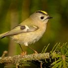 Goldcrests migrate in their thousands over the North Sea to Dorset Photo: Mikelane45/Dreamtime.com