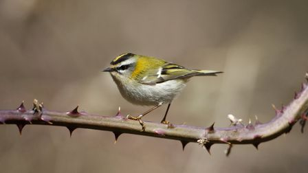 Look for firecrests feeding on brambles and gorse Photo: Mikelane45/Dreamtime.com