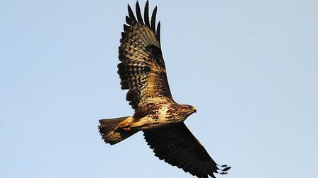 The mighty buzzard overhead is an increasingly common sight in Suffolk. Image: Amy Lewis/WildNet