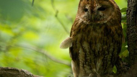 The tawny owl has soft feathers for silent flight. Image: Tom Hibbert