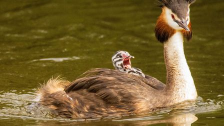 An amazing picture of a Great Crested Grebe with a chick on its back. Photo: David Cullingford