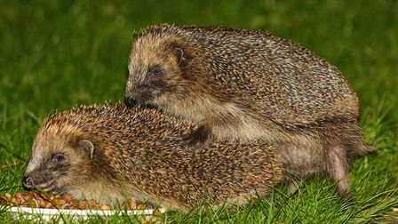The hedgehogs in David's garden, making new hogs! Photo: David Cullingford
