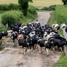 The herd makes its way to the milking shed. Photo Laura Hampton