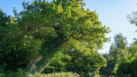 Will the magnificent Remedy Oak get your vote? Photo: Tessa Chan