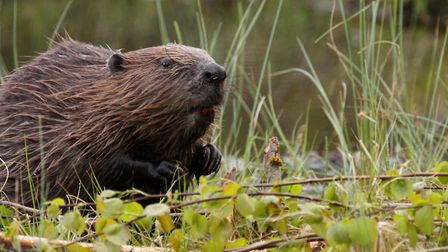 Beavers have been reintroduced to Wild Ken Hill estate. Photo: Getty Images/iStockphoto
