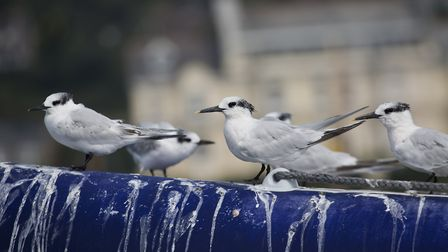 These sandwich terns have made a mess of this inflatable