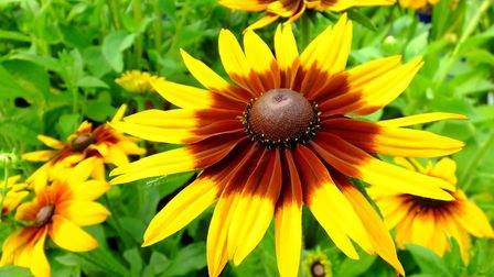 Rudbeckia hirta 'Cappucino'. Photo: Keith Clouting