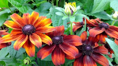 Rudbeckia Summerina 'Pumpernickel'. Photo: Keith Clouting