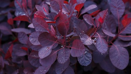 Cotinus Coggygria Royal Purple, know as the smoke bush