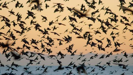 Despite being seen together in huge numbers, starling populations have fallen by 80 percent and are