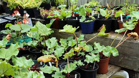 Collection of potted up rhubarb