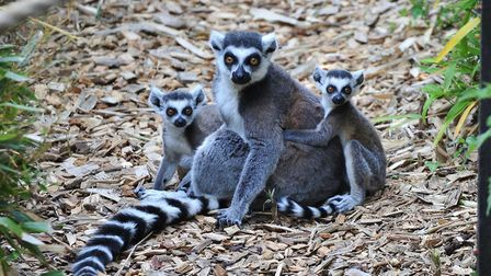 Lemurs at Colchester Zoo (photo: Tom Smith)