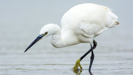 Little egrets first bred in the UK at Brownsea Photo: Hans Germeraad/ AGAMI photo agency/Dreamtime.c