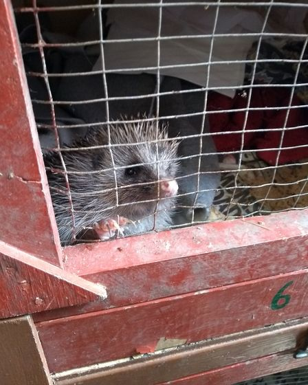 Tilly the hedgehog recovering at Chorley Hedgehog Rescue