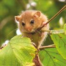 Disappearing species. . . dormouse. Under threat because of fragmented woodland and the ongoing loss