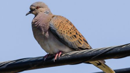 Disappearing species. . . turtle dove. Once a common sight in East Anglia, turtle doves are now rare