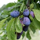 Purple Pershore is used most often for cooking and preserving, originally raised near Pershore Worce