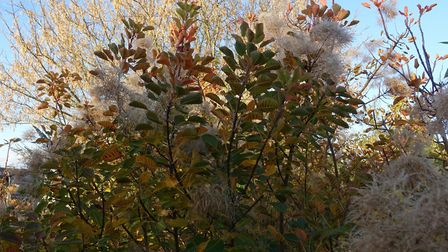 Cotinus coggygria with its fluffy seedheads is a star in Henrietta Neuteboom's Suffolk garden. Image