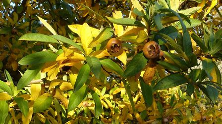 The medlar resplendent with bronze fruit and autumn foliage in Henrietta Neuteboom's Suffolk garden.