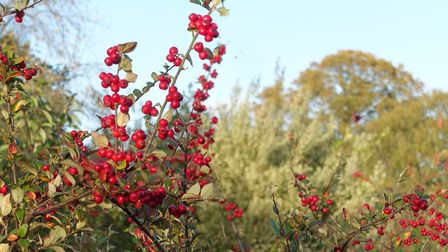 Cotoneaster is an easy plant with stunning autumn berries. Image: Marion Welham