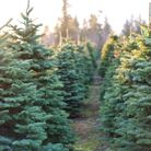 There are plenty of great places to find your Christmas tree in Somerset, from Weston-super-Mare to