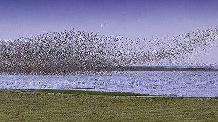 Dunlin and knot murmuration at Snettisham (photo: Steve Adams, Getty Images)