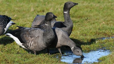Brent Geese on Cley Marshes. Photo: Nick Appleton