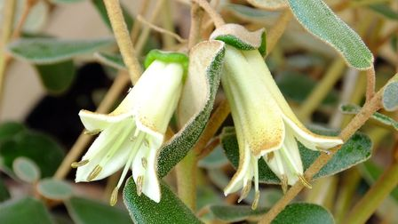 The beautiful flowers of the Correa backhouseana. Photo: Keith Clouting