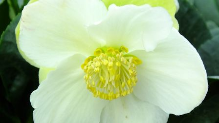 Helleborus niger 'Christmas Carol'. Photo: Keith Clouting