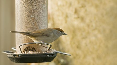 Female blackcap at a garden bird feeder, this species is overwintering in the UK now Photo: Suerob/d