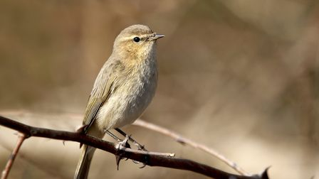 Chiffchaff are finding enough insect life to overwinter in the UK Photo: Picstudio/dreamtime.com
