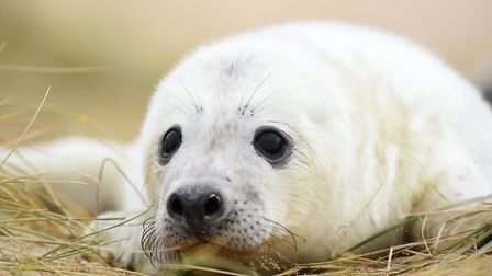 Baby seal pup at Horsey. Picture: James Bass