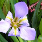 A beautiful Iris, Iris unguiclaris. Photo: Keith Clouting