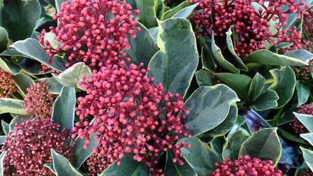 Skimmia japonica 'Perosa'. Photo: Keith Clouting