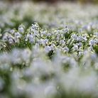 We've selected some of the best places to see snowdrops in Norfolk (photo: Paul Heyes, Getty Images)