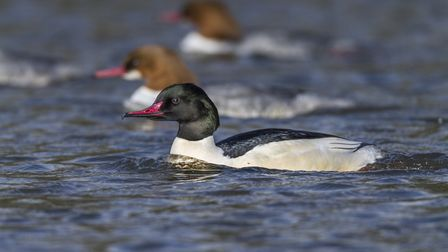 Goosanders can be seen at Loe Pool through the winter