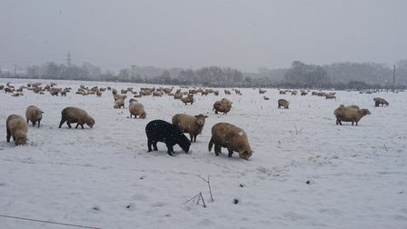 Sheep in the snow at Stanborough Park, WGC.